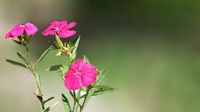 在花盆的桃红色颜色花 免版税库存照片