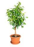在花盆的榕属benjamina 免版税图库摄影