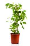 在花盆的榕属benjamina 库存图片
