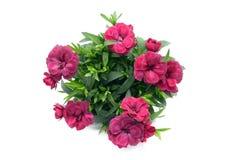 在花盆的紫色桃红色石竹花 盆在白色isolat 库存照片