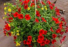 在花盆的红色喇叭花花 免版税库存照片