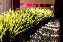 在花盆的绿草在石头 免版税库存图片