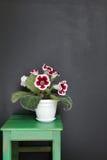 在花盆的美丽的大岩桐花 室内植物 图库摄影