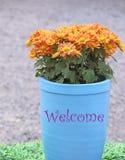 在花盆的菊花花 库存图片