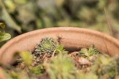 在花盆的蜘蛛 库存图片