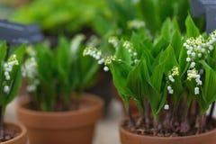 在花盆的铃兰 选择聚焦,反弹浓缩 免版税库存照片