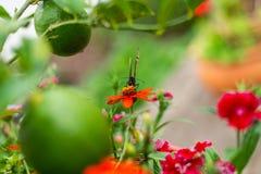 在花盆的黑脉金斑蝶 免版税库存图片