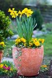 在花盆的黄水仙和黄色蝴蝶花 免版税图库摄影