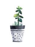 在花盆的水彩多汁植物 笤帚查出的白色 图库摄影