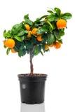 在花盆的Calamondin 免版税库存图片