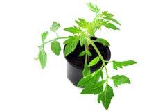 在花盆的Tomate幼木在背景 免版税库存图片