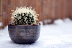 在花盆身分的Echinocactus Grusonii金黄桶球仙人掌或婆婆坐垫在雪 免版税库存照片