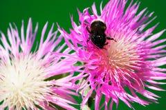在花矢车菊的土蜂 图库摄影