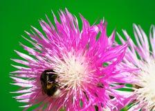在花矢车菊的土蜂 库存图片