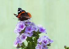 在花福禄考的蝴蝶 免版税库存图片