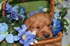 在花篮子的三个星期的老金毛猎犬小狗 免版税图库摄影