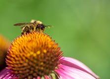 在花粉盖的土蜂坐花在庭院里 库存图片