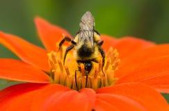 在花粉盖的土蜂 图库摄影