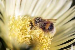 在花粉盖的土蜂 免版税库存图片