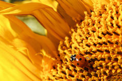 在花粉盖的瓢虫爬行在向日葵 免版税图库摄影