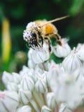 在花粉盖的蜂蜜蜂 库存图片