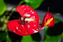 在花红色的雌蕊的婚戒 两 库存图片
