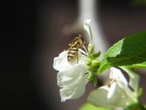 在花苹果树的幼小黄蜂 免版税库存照片