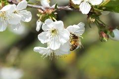在花苹果11的蜂 免版税库存图片