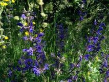 在花草甸的狂热的贤人紫色花在森林附近 库存图片