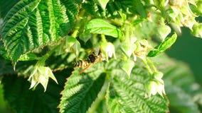 在花莓的黄蜂 股票录像