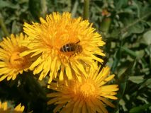 在花蒲公英的蜂 免版税库存照片