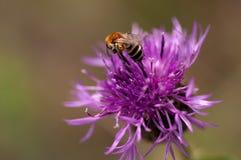 在花蓟的蜂 库存图片