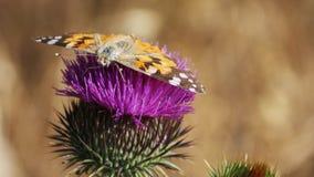 在花蓟的蝴蝶 免版税库存照片