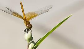 在花蕾栖息的蜻蜓 免版税图库摄影