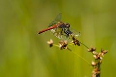 在花蕾的红宝石Meadowhawk蜻蜓 库存图片