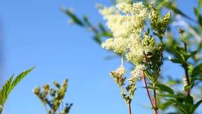 在花附近的土蜂飞行 影视素材