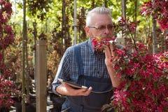 在花附近的成人花匠 拿着片剂的手 在玻璃,胡子,佩带的总体 在庭院商店 免版税库存照片