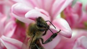 在花风信花宏指令的蜂 影视素材