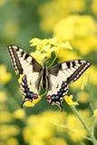在花,关闭的五颜六色的蝴蝶 库存照片