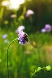 在花,在狂放的一只昆虫的大土蜂 库存图片
