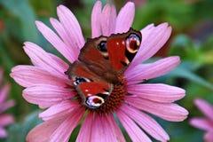 在花,德国的特写镜头蝴蝶 免版税图库摄影