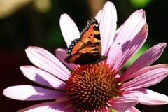 在花,德国的特写镜头蝴蝶 免版税库存图片