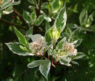 在花,清早的山茱萸遮蔽了阳光 免版税库存照片