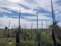 在花,西澳州的草树 免版税库存照片