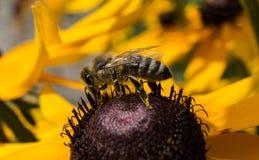 在花18的一只粗砺的蜂 免版税库存照片