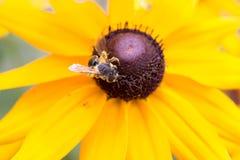 在花17的一只粗砺的蜂 免版税库存照片