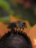 在花9的一只粗砺的蜂 免版税库存照片