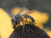在花8的一只粗砺的蜂 库存照片