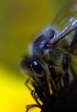 在花4的一只粗砺的蜂 免版税库存照片