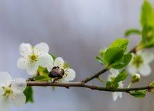 在花2的蜜蜂 库存图片